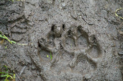 Brown Bear Track Stock Image