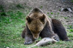 Brown bear, Transylvania, Romania Stock Images