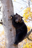 Brown bear in the tree Stock Image