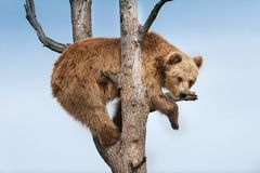 Brown bear on tree. Brunch against blue sky royalty free stock images