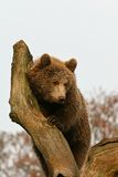Brown bear on a tree Royalty Free Stock Image