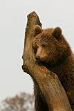 Brown bear on a tree Royalty Free Stock Photography