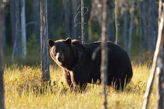 Brown bear between the trees. At the evening sun Stock Photos