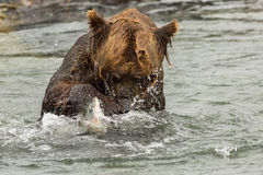 Brown bear trying to catch a fish on Kurile Lake. Royalty Free Stock Images