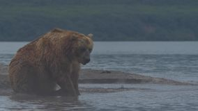Brown bear trying to catch a fish stock footage