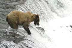 Brown bear trying to catch salmon. While standing on top of Brooks Falls in Alaska Stock Photos