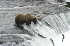 Brown Bear Trying To Catch Salmon Royalty Free Stock Image