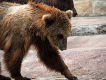 Brown Bear Or Ursa Species. In enclosure at the Lisbon Zoo in Portugal Stock Photography