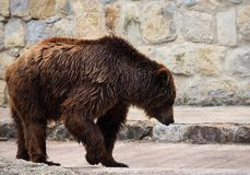 Brown Bear Or Ursa Species. In enclosure at the Lisbon Zoo in Portugal Royalty Free Stock Image
