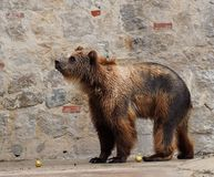 Brown Bear Or Ursa Species. In enclosure at the Lisbon Zoo in Portugal Stock Image