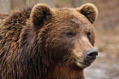 Brown bear, Ursidae. Face Brown bear. Bear in forest. Danger prey Stock Images