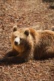 Brown Bear - Ursus arctors Royalty Free Stock Photos