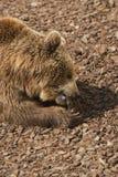 Brown Bear - Ursus arctors Stock Images