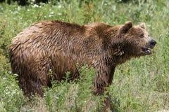 Brown bear / Ursus arctos Royalty Free Stock Photo