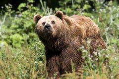 Brown bear / Ursus arctos. A brown bear walking on grass Stock Photography