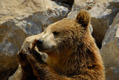 Brown bear, Ursus arctos. The brown bear (Ursus arctos) is a large bear distributed across much of northern Eurasia and North America Stock Images