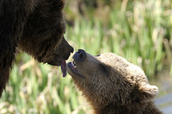 Brown bear, ursus arctos Royalty Free Stock Photo