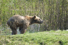 Brown bear, ursus arctos. Draining Royalty Free Stock Photos