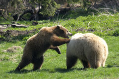 Brown bear, ursus arctos Stock Photos
