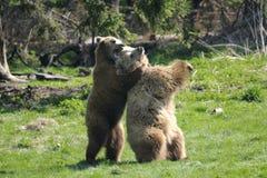 Brown bear, ursus arctos Stock Photography