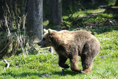 Brown bear, ursus arctos. Running Stock Image