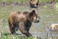 Brown bear, ursus arctos Royalty Free Stock Images