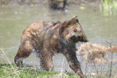 Brown bear, ursus arctos. Drying up Stock Image