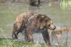 Brown bear, ursus arctos Stock Photography