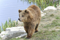 Brown bear, ursus arctos Royalty Free Stock Photography