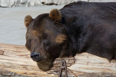 Brown bear, Ursus arctos Stock Photo