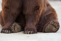 Brown bear, Ursus arctos Royalty Free Stock Image