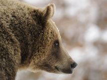 Brown Bear ( Ursus arctos ) Royalty Free Stock Photography