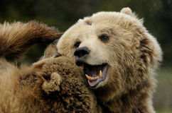Brown Bear ( Ursus arctos ) Stock Photos