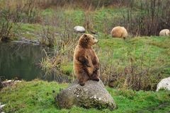 Brown bear (Ursus arctos). In the deer park Poing (Germany Royalty Free Stock Photos