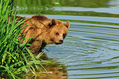 Brown bear (Ursus arctos). In the deer park Poing (Germany Stock Photos