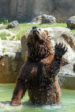 Brown bear (Ursus arctos). A brown bear (Ursus arctos) is jumping out from water Stock Image