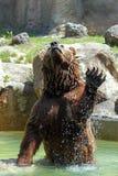 Brown bear (Ursus arctos). A brown bear (Ursus arctos) is jumping out from water stock image