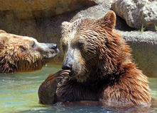 Brown bear (Ursus arctos) Royalty Free Stock Image