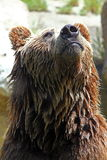 Brown bear (Ursus arctos). Closeup of a brown bear (Ursus arctos royalty free stock photography
