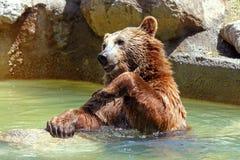Brown bear (Ursus arctos). A brown bear (Ursus arctos) in a funny position royalty free stock image