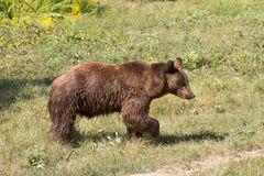 Brown Bear  ( Ursus Arctos ) Royalty Free Stock Photo