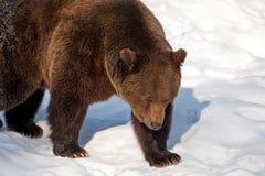 Brown Bear (Ursus arctos) Royalty Free Stock Photography
