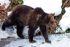 Brown Bear (Ursus arctos) Royalty Free Stock Image
