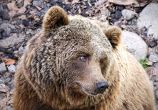Brown Bear Ursus arctos Royalty Free Stock Photo