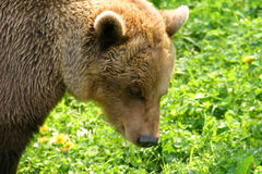 Brown Bear (Ursus arctos). Photo of a Brown Bear (Ursus arctos Royalty Free Stock Photos