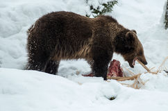 Brown Bear ( Ursus arctos ) Royalty Free Stock Photos