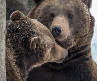 Brown Bear ( Ursus arctos ) Royalty Free Stock Images