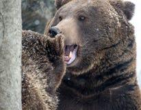 Brown Bear ( Ursus arctos ) Stock Image