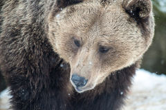 Brown Bear ( Ursus arctos ) Royalty Free Stock Image