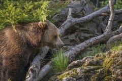 Brown bear - Ursus arctos Stock Photography